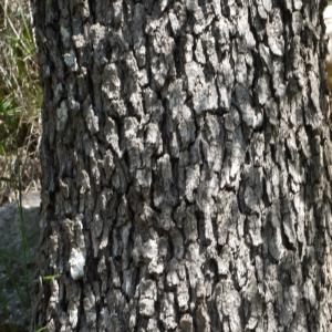 Crataegus azarolus L. var. azarolus