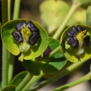 Euphorbia characias L. (Euphorbe characias)