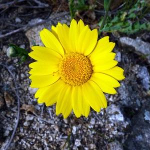 Chrysanthemum segetum L. (Chrysanthème des blés)