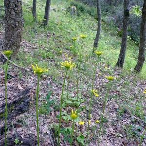 Photographie n°116839 du taxon Doronicum plantagineum L.