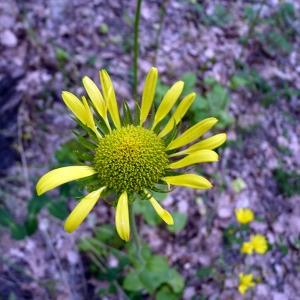 Photographie n°116840 du taxon Doronicum plantagineum L.