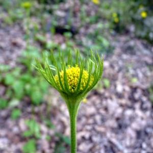 Photographie n°116846 du taxon Doronicum plantagineum L.