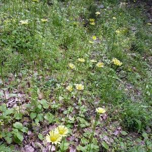 Photographie n°116847 du taxon Doronicum plantagineum L.