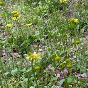 Photographie n°116849 du taxon Doronicum plantagineum L.