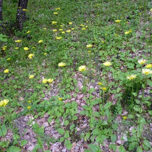 Photographie n°116850 du taxon Doronicum plantagineum L.