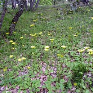 Photographie n°116851 du taxon Doronicum plantagineum L.