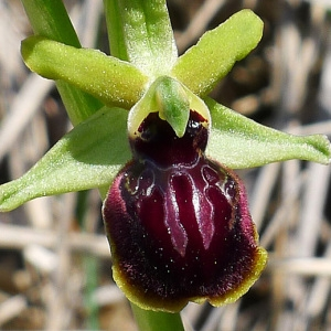 Photographie n°116865 du taxon Ophrys araneola Rchb.