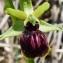 Bertrand BUI - Ophrys araneola Rchb.