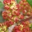 Genevieve Botti - Pistacia lentiscus L.