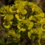 Daniel K - Euphorbia cyparissias L. [1753]
