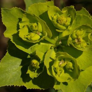Photographie n°116912 du taxon Euphorbia serrata L. [1753]