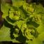 Daniel K - Euphorbia serrata L. [1753]