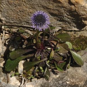 - Globularia vulgaris L.