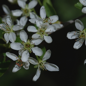 Prunus mahaleb L. (Bois de sainte Lucie)