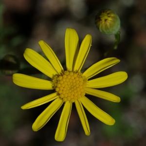 Senecio alboranicus Maire (Séneçon de France)