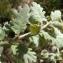Liliane Roubaudi - Quercus pubescens Willd. [1805]