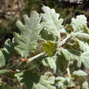 Photographie n°117023 du taxon Quercus pubescens Willd. [1805]