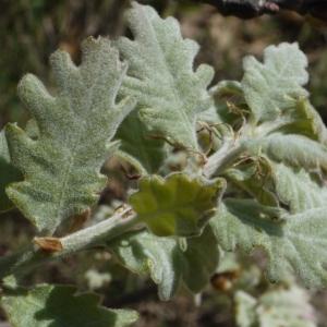 Photographie n°117025 du taxon Quercus pubescens Willd. [1805]