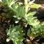 Alain Bigou - Linaria alpina subsp. aciculifolia Braun-Blanq. [1945]