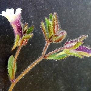 Photographie n°117161 du taxon Chaenorhinum rubrifolium (Robill. & Castagne ex DC.) Fourr. [1869]