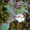 Bertrand BUI - Chaenorhinum rubrifolium (Robill. & Castagne ex DC.) Fourr. [1869]