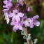 Bertrand BUI - Thymus vulgaris L.