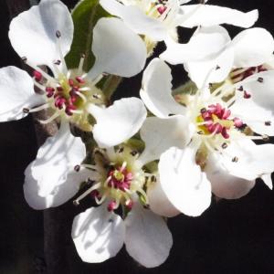 Pyrus spinosa Forssk. (Poirier à feuilles d'amandier)