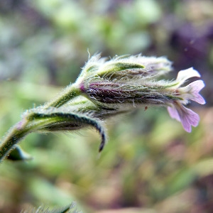 Photographie n°117235 du taxon Silene gallica L. [1753]