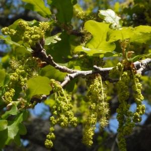 Photographie n°117253 du taxon Quercus robur L. [1753]