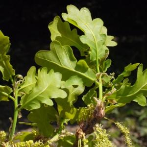 Photographie n°117258 du taxon Quercus robur L. [1753]