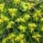 Emmanuel Stratmains - Euphorbia spinosa L. [1753]