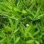 Emmanuel Stratmains - Trifolium angustifolium L. [1753]