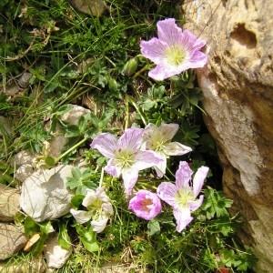 Photographie n°117496 du taxon Geranium cinereum subsp. cinereum