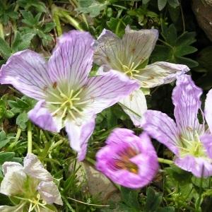 Photographie n°117497 du taxon Geranium cinereum subsp. cinereum
