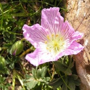Photographie n°117498 du taxon Geranium cinereum subsp. cinereum