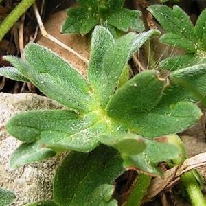 Photographie n°117499 du taxon Geranium cinereum subsp. cinereum
