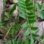 Bertrand BUI - Astragalus monspessulanus L.
