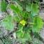 Bertrand BUI - Ranunculus muricatus L. [1753]