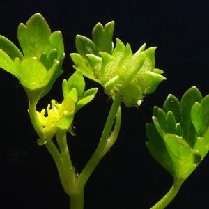 Photographie n°117527 du taxon Ranunculus muricatus L. [1753]