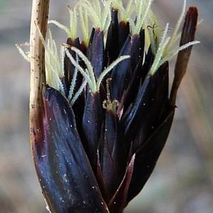Schoenus nigricans L. (Choin noirâtre)