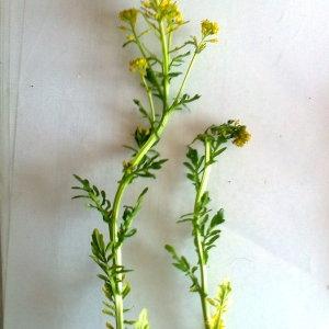 Photographie n°117542 du taxon Barbarea verna