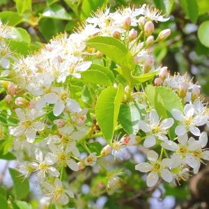 Photographie n°117572 du taxon Prunus mahaleb L.
