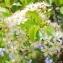 Marie  Portas - Prunus mahaleb L.