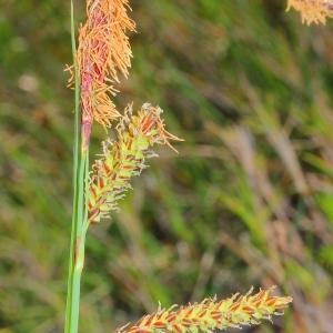 Photographie n°117590 du taxon Carex flacca Schreb. [1771]
