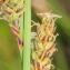 Marie  Portas - Carex flacca Schreb. [1771]