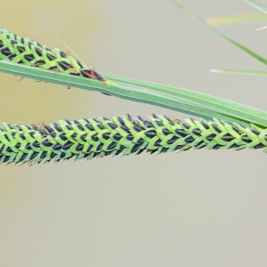 Photographie n°117609 du taxon Carex nigra (L.) Reichard [1778]