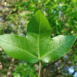 Photographie n°117688 du taxon Acer monspessulanum L. [1753]