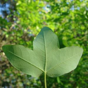 Photographie n°117689 du taxon Acer monspessulanum L. [1753]