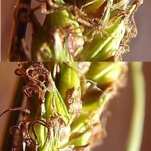 - Carex binervis Sm.
