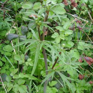 Photographie n°117809 du taxon Ranunculus acris L. [1753]